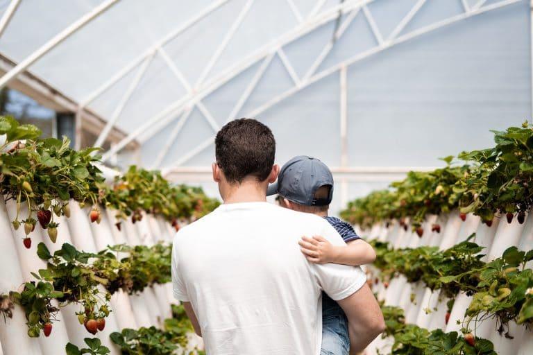 Erdbeeren indoor-farm