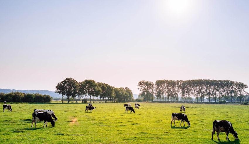 Kühe auf Weide bei Sonnenschein
