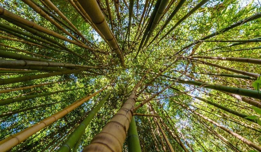 Hohe Bambuspflanzen