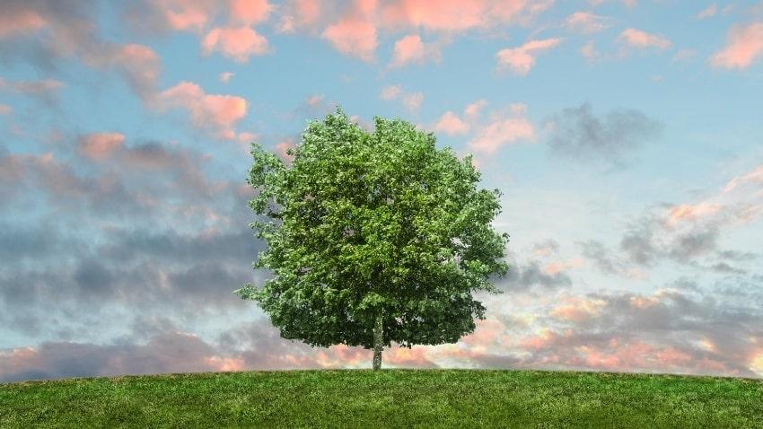 Baum-in-gesunder-Umwelt