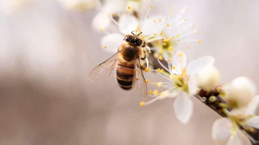 Biene auf Manuka-Zweig