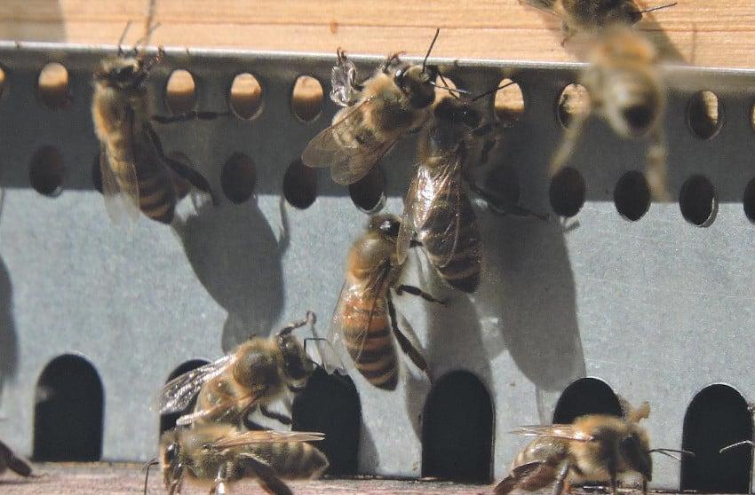 Bienen vor ihrem Bau