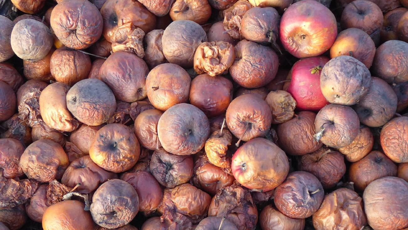 Viele verfaulte Äpfel
