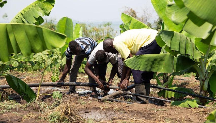 Drei Arbeiter auf Plantage
