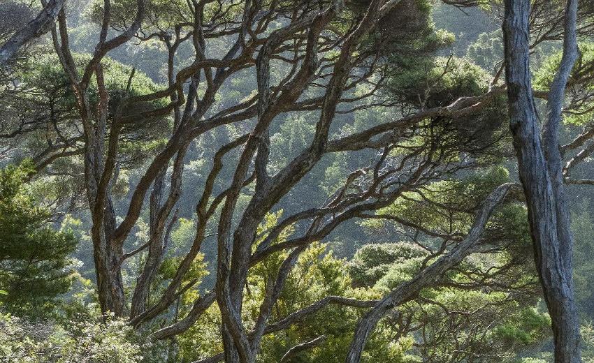 Nadelbäume in Neuseeland