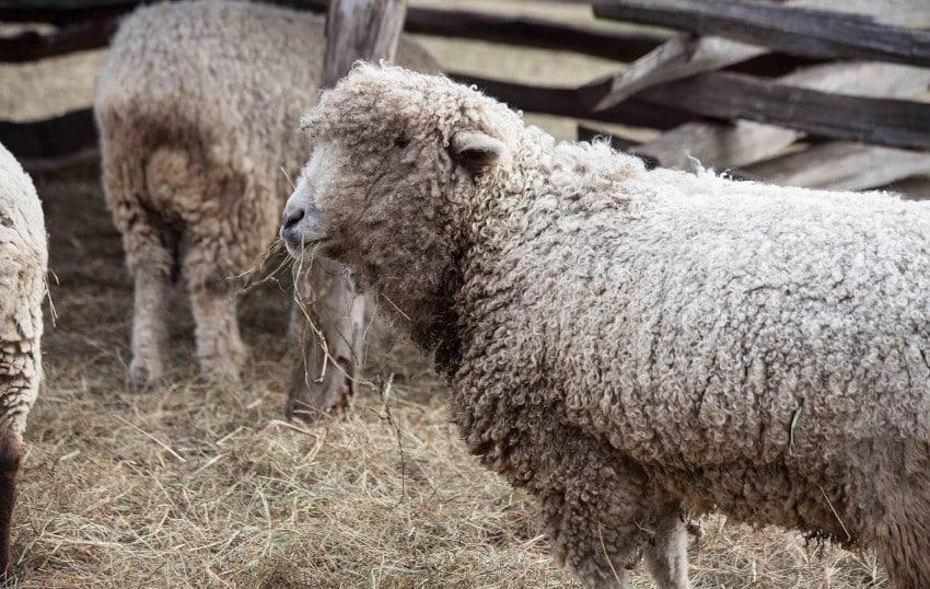 Schaf auf Stroh