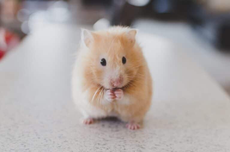 Tierversuche, Hamster