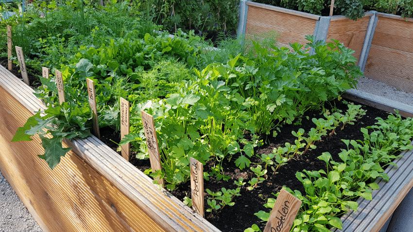 Hochbeet mit verschiedenen grünen Salaten