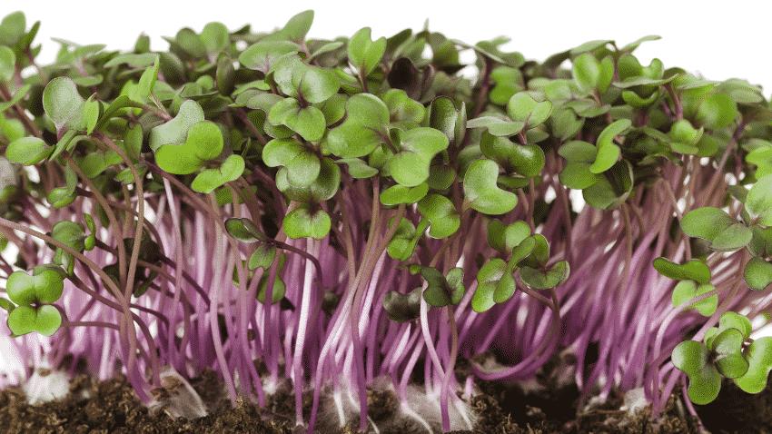 Microgreens Rotkohl
