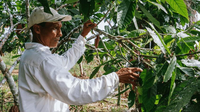 Mann in weißem Hemd auf einer Kakaoplantage