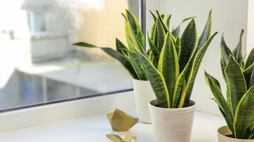 zwei Bogenhanf-Pflanzen auf Fensterbrett mit goldener Deko