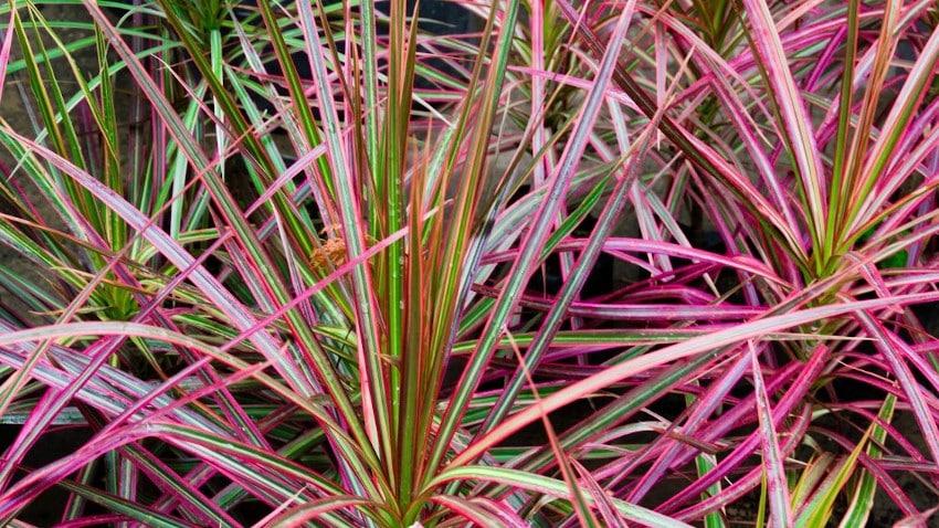 mehrere Drachenbaum-Pflanzen