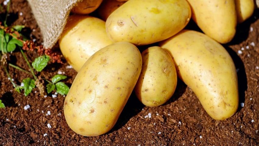 Kartoffeln auf Erde