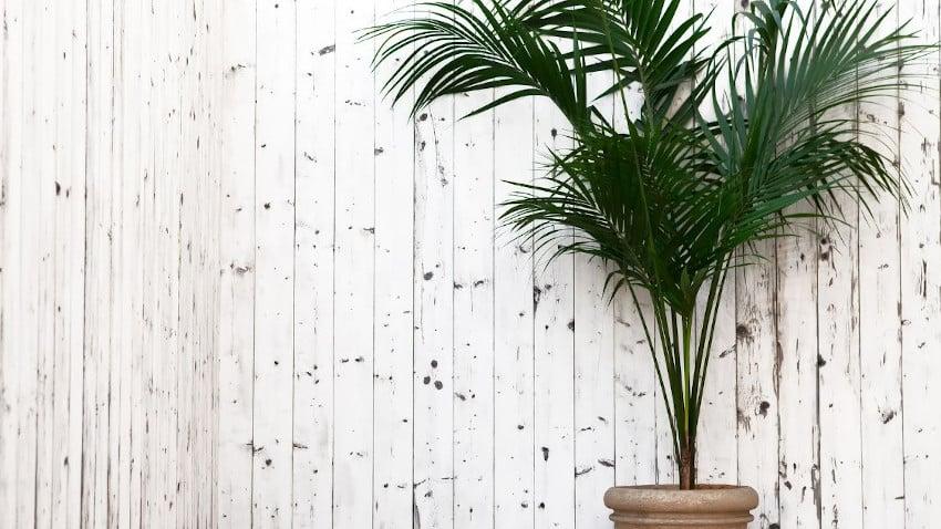 große Kentiapalme vor weißer Bretterwand in braunem Topf